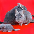 Couple Violet ebonite chinchilla . — Stock Photo