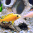 Aquarium Fish dwarf Cichlid-Aulonocara. — Stock Photo