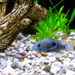 Stock Photo: Aquarium Fish dwarf Cichlid-Apistogrammnijsseni.