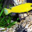 Aquarium Fish- Cichlid Hummingbird Yellow. — Stock Photo
