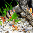 Shoal of aquarium fish-Barbus. (Barbus pentazona) - Stock Photo