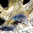 Aquarium Fish dwarf Cichlid-Apistogramma nijsseni. — Stock Photo