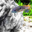Aquarium Fish dwarf Cichlid-Apistogramma nijsseni. - Stock Photo