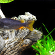 Aquarium Fish dwarf Cichlid - Stock Photo
