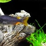 ������, ������: Aquarium Fish dwarf Cichlid