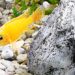 Aquarium Fish dwarf Cichlid-Aulonocara. - Stock Photo