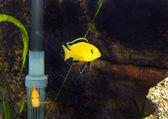 Aquarium Fish- Cichlid Hummingbird Yellow. — Stock Photo