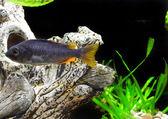Aquarium Fish dwarf Cichlid — Stock Photo