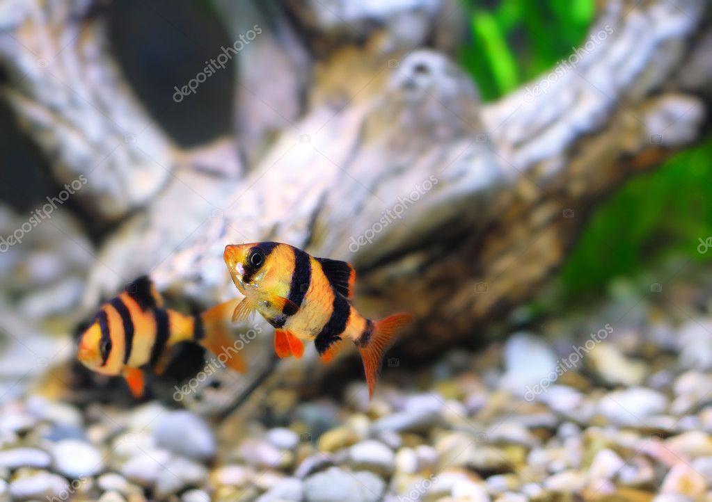 Shoal of aquarium fish-Barbus. (Barbus pentazona) ? Stock Photo ...