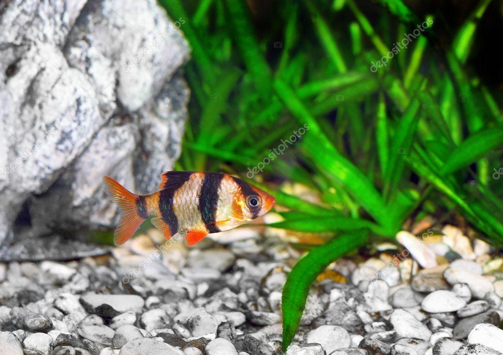 Single quarium fish-Barbus. (Barbus pentazona) ? Stock Photo ...