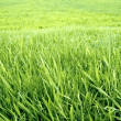 Green grass background. - Stock Photo