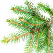 Fresh green fir branches. Isolated - Stock Photo