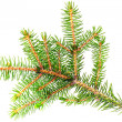 Fresh green fir branches. Isolated — Stock Photo
