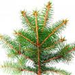 新鲜绿色 fir 分支。隔离 — 图库照片