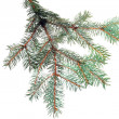 Fresh green fir branches. Isolated — Stock fotografie