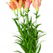 Pink lilies on white background. Isolated. - Stock Photo