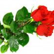 Beautiful three red roses .  Isolated. — Stock Photo