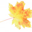 Stock Photo: Single utumn Leaf over white. Isolated