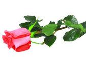 Beautiful single pink roses . Isolated. — Stock Photo