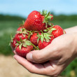 Fresh picked strawberries — Stock Photo #6695986