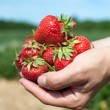 Stock Photo: Fresh picked strawberries