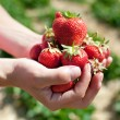 Fresh picked strawberries — Stock Photo #6696013
