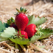 Fresh picked strawberries — Stock Photo #6696023