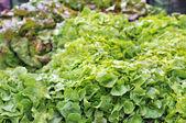 Salade de frash — Photo