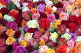 Colourful Roses — Stock Photo