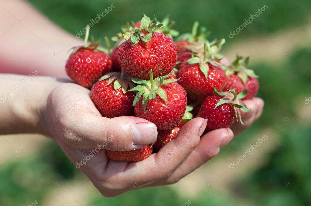 Fresh picked strawberries held over strawberry plants — Stock Photo #6695960
