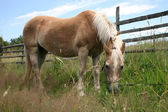 Haflinger horse grazing in the meadow — Стоковое фото