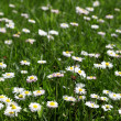 Stock Photo: Many white daisies in top view of meadow