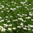 Many white daisies in top view of meadow — Stock Photo