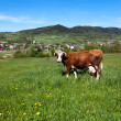 Stock Photo: Cow on green meadow