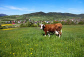 Cow on green meadow — 图库照片
