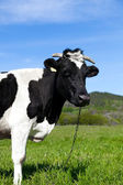 Black and white cow — 图库照片