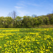 Green field with dandelions — Stock Photo