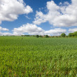 Wheat field  and blue sky, english countryside — Stock Photo