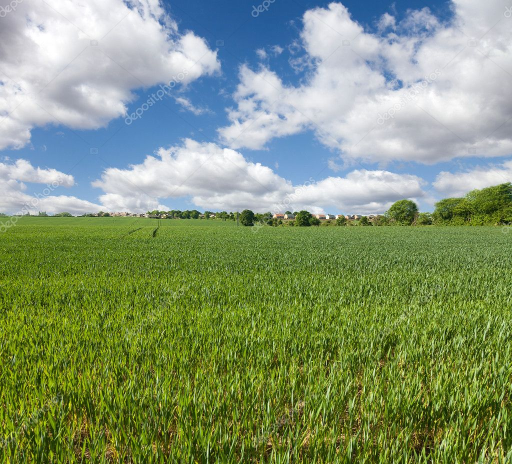 Wheat field  and blue sky, english countryside — Stock Photo #5640295