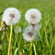 Beautiful white dandelions on a green background — Stock Photo