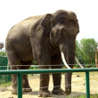 Elephant in zoo — Photo