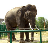 Elephant in zoo — Stock Photo