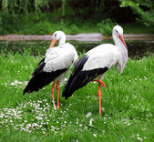 Couple of white storks — Stock Photo