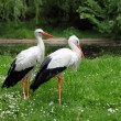 Stock Photo: White storks