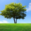 A big maple tree on green field — Stock Photo