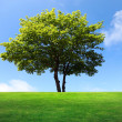 Big maple tree on green field — Stock Photo #6003640