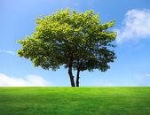 Drzewo duży klon na zielone pole — Zdjęcie stockowe