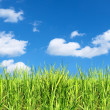 Summer field of green grass — Stock Photo