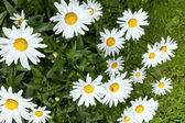 Field of daisies — Stock Photo