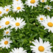 Chamomile field — Stock Photo